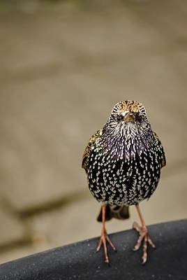 Starlings Photograph - Angry Bird by Heather Applegate