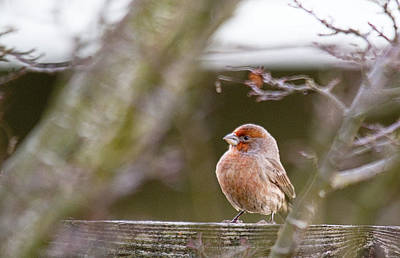 House Finch Photograph - Angry Bird by Rebecca Cozart