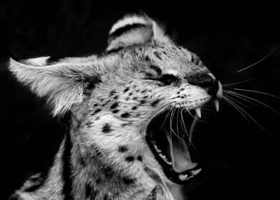 Angry Wild Serval Cat Print by Kathy Kay