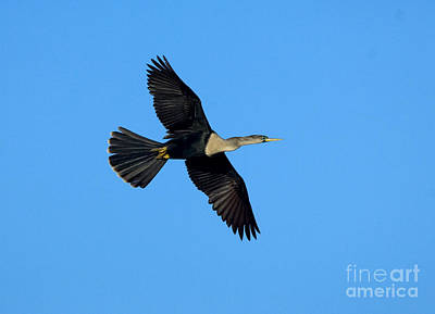 Anhinga Photograph - Anhinga Female Flying by Anthony Mercieca