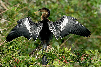 Anhinga Photograph - Anhinga Sunning by Anthony Mercieca