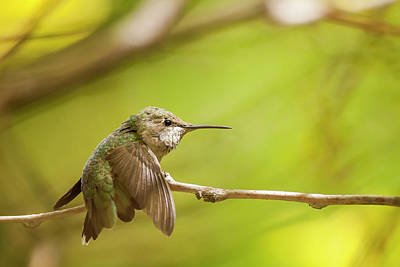 Locust Photograph - Anna's Hummingbird by Michael Qualls