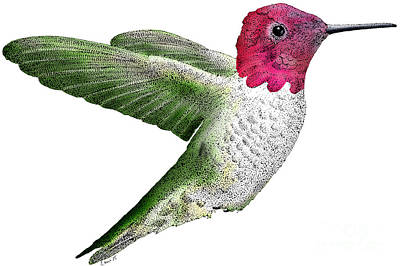 Annas Hummingbird Print by Roger Hall
