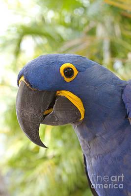 Anodorhynchus Hyacinthinus - Hyacinth Macaw Print by Sharon Mau