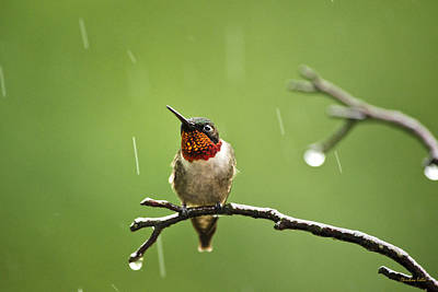 Hummingbird Photograph - Another Rainy Day Hummingbird by Christina Rollo