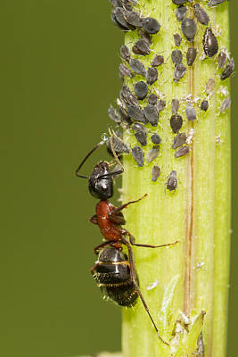 Ant Tending Aphids Print by Mircea Costina Photography