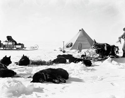 Antarctic Sled Dogs Print by Scott Polar Research Institute