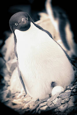 Antarctica Adelie Penguin Sits On An Print by Janet Muir