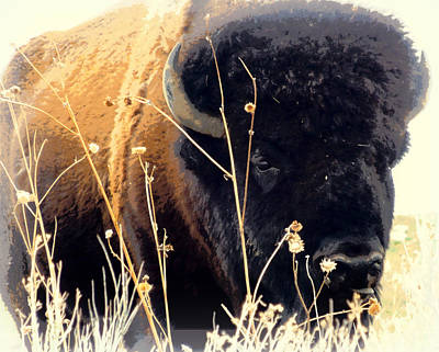 Antelope Island Buffalo Print by Heidi Manly