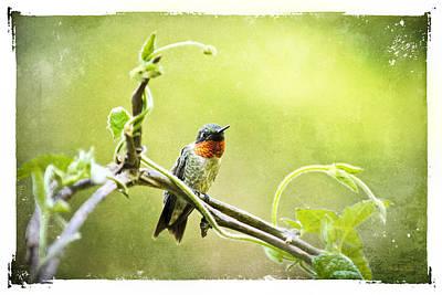 Digital Art - Antique Hummingbird Postcard No. 9038 by Christina Rollo