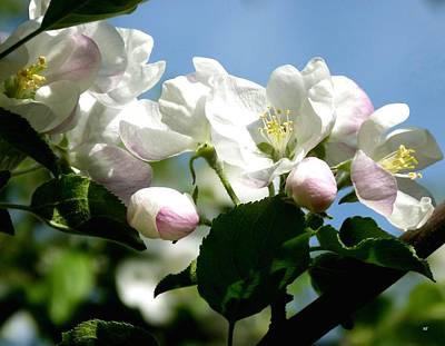 Apple Blossom Country Print by Will Borden