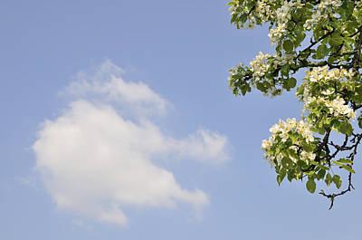 Apple Blossom In Spring Blue Sky Print by Matthias Hauser