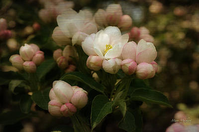Apple Blossom Time Print by Mary Machare