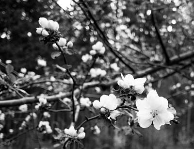 Apple Photograph - Apple Blossoms by Aaron Aldrich