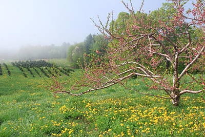 Apple Blossoms At Field Edge Print by John Burk