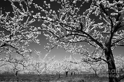 Apple Orchard Print by Elena Elisseeva