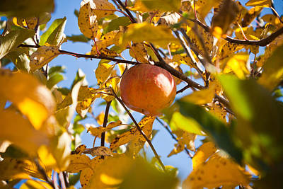 Apple Picking Print by Anthony Doudt
