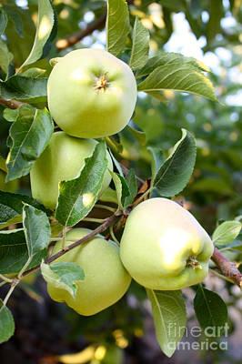 Apple Tree - Golden Delicious Print by Carol Groenen