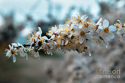 Haybales Photograph - Apples Blooming by Robert Bales
