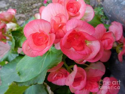 Flowers On Line Photograph - Apricot Colored Begonias - The Color Of Coral by Eloise Schneider