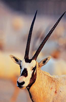 Pronghorn Photograph - Arabian Oryx (oryx Leucoryx by Martin Zwick