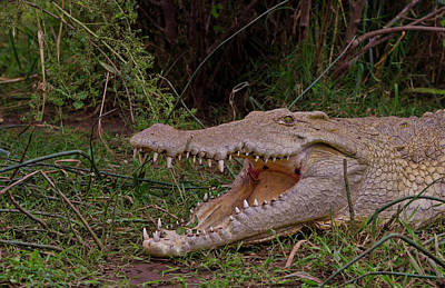 Crocodile Photograph - Arba Minch, Lake Chamo, Ethiopia by Bill Bachmann