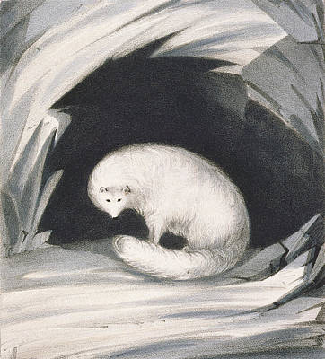 Wild Animals Drawing - Arctic Fox, From Narrative Of A Second by Sir John Ross