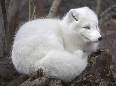 Arctic Fox Print by Jim Hughes