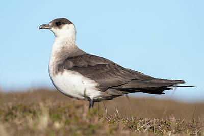 Arctic Skua Or Parasitic Jaeger Or Print by Martin Zwick
