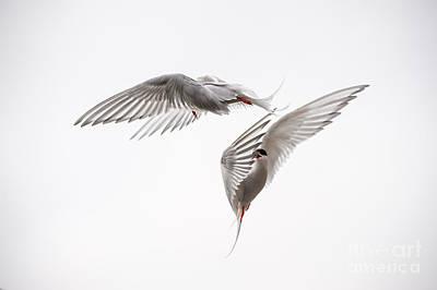 Arctic Tern - Sterna Paradisaea - Pas De Deux  Print by Ian Monk