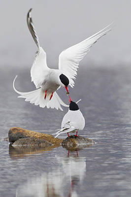Tern Photograph - Arctic Terns, Courtship by Ken Archer