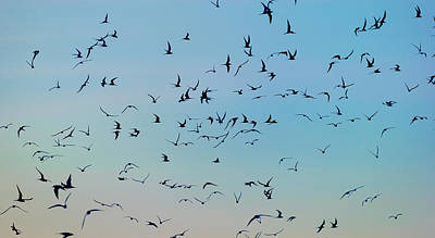 Tern Photograph - Arctic Terns Flying, Reykjavik, Iceland by Panoramic Images