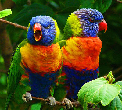 Are You Listening - Rainbow Lorikeets Print by Margaret Saheed