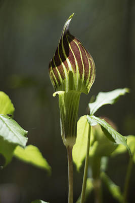 Arisaema Triphyllum Jack-in-the-pulpit Print by Rebecca Sherman