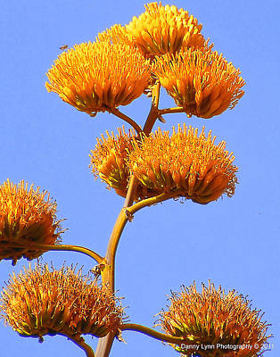 Photograph - Arizona Agave by Dan  Dickerson