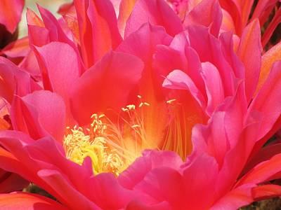 Flower Photograph - Arizona Cactus Beauty by Michelle Cassella