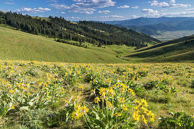Bison Photograph - Arrowleaf Balsamroot Wildflowers by Chuck Haney