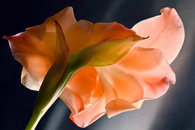 Art Of Gladiolus. Print by Terence Davis