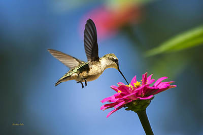 Art Of Hummingbird Flight Print by Christina Rollo