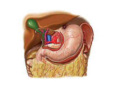 Portal Photograph - Arterial System Of Stomach by Asklepios Medical Atlas