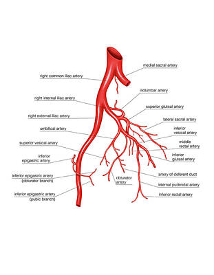 Arterial System Of The Abdomen Print by Asklepios Medical Atlas
