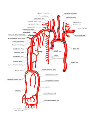 Arterial System Of The Upper Body Print by Asklepios Medical Atlas