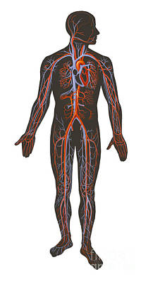Arteries And Veins Of The Human Body Print by TriFocal Communications