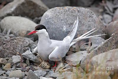 Artic Tern On Nest Print by Greg Dimijian