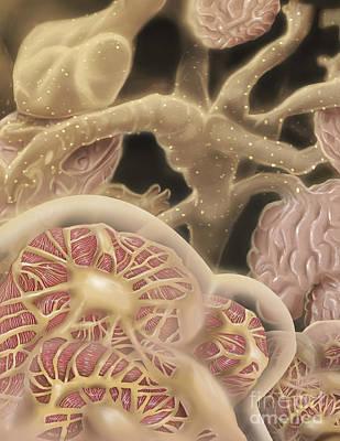 Internal Organs Digital Art - Artist Depcition Of Glomerulus by Alan Gesek