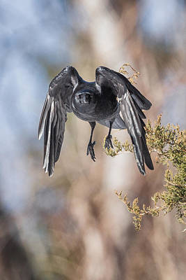 American Crow Photograph - As The Crow Flies by Bill Wakeley