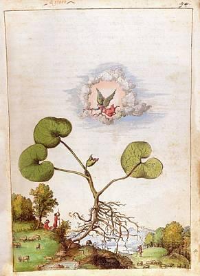 Asarum Europaeum Plant Print by British Library
