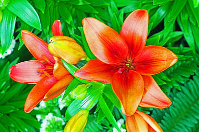Photograph - Asatic Hybrid Lily by Rich Walter