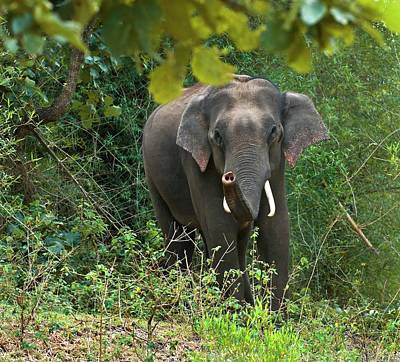 Asian Bull Elephant In Musth Print by K Jayaram