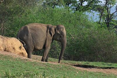 Asian Elephant Scratching Itself Print by K Jayaram